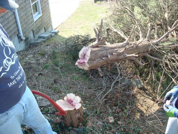 2010-3-21 Pine tree take down 004